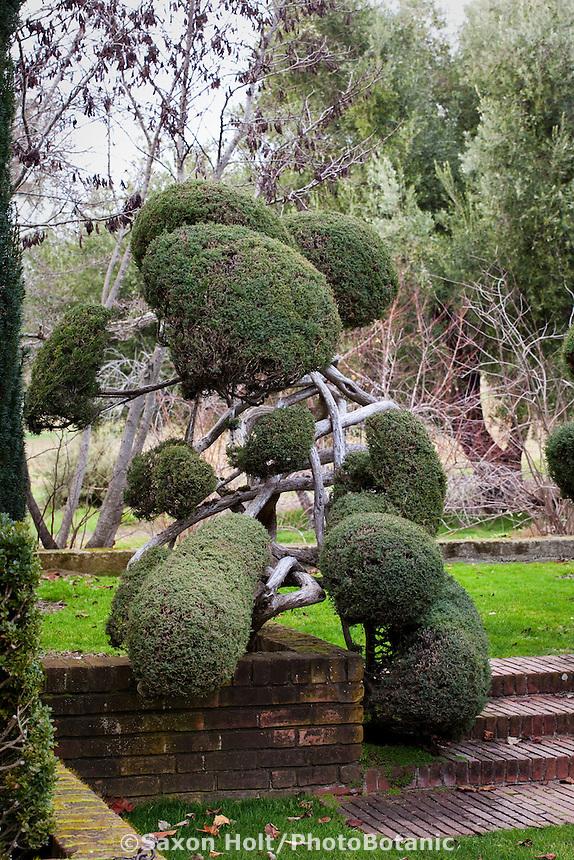 Ornamental poodle, pom-pom pruning of evergreen juniper shrubs at Filoli estate garden