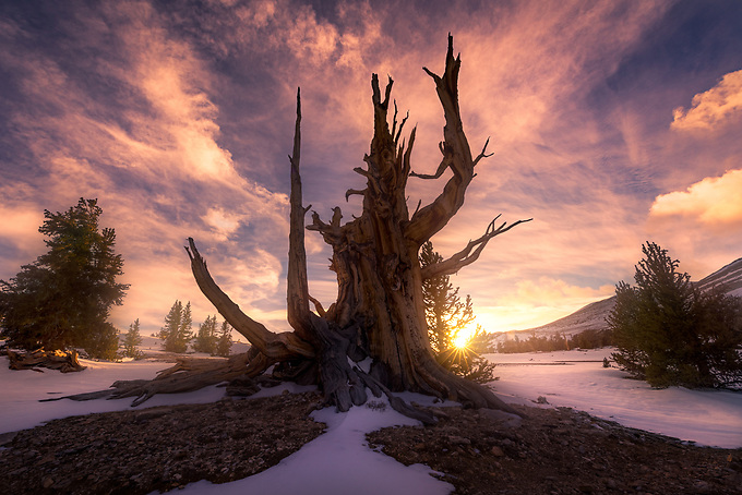 "A particularly photogenic ancient bristlecone extends its ""arms"" into an explosive sunset."