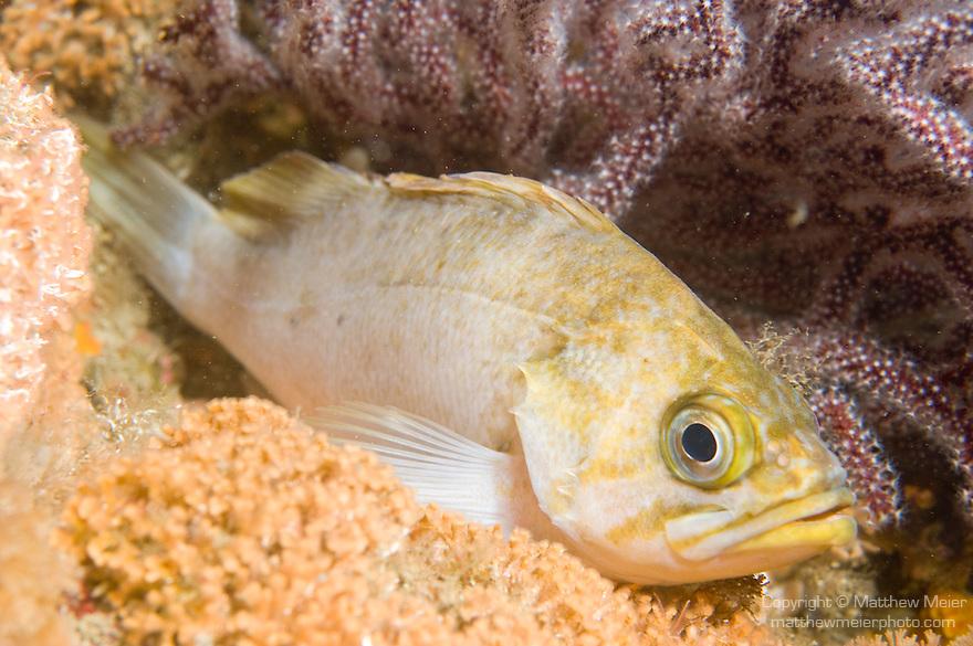 Santa Cruz Island, Channel Islands National Park and National Marine Sanctuary, California; a Kelp Rockfish rests on the sea floor , Copyright © Matthew Meier, matthewmeierphoto.com All Rights Reserved