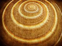 Close up of Sundial sea shell.