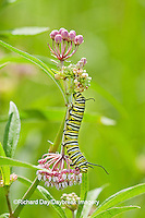 03536-04909 Monarch butterfly (Danaus plexippus) caterpiller on Swamp Milkweed (Asclepias incarnata) Marion Co., IL