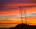 Yucca and sunset over Pacific Ocean. Coal Oil Point Reserve, part of the University of California Natural Reserve System. 158 acres (63 ha). Est. 1970 to protect a wide variety of coastal and estuarine habitats, threatened Snowy Plover nesting sites and the thousands of migratory birds who visit throughout the year. Part of Audubon's designated Goleta Coast Important Bird Area (IBA).