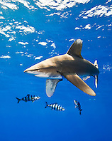 oceanic whitetip shark, Carcharhinus longimanus, with pilot fish, Naucrates ductor, Kona Coast, Big Island, Hawaii, USA, Pacific Ocean