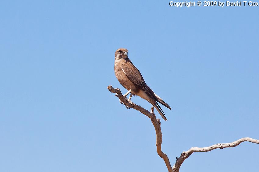 Brown Falcon, Camooweal - Tennant Crk Rd, NT, Australia