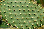 Close up of spikes on leaf of opuntia echios cactus,  Kew Gardens, London, England, UK