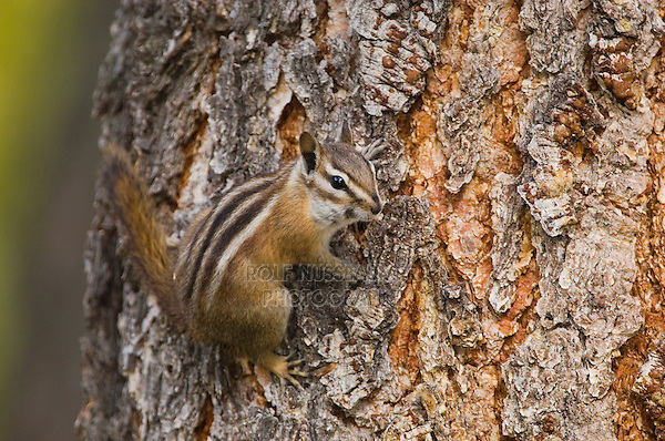 Uinta Chipmunk, Tamias umbrinus, adult on bark of Ponderosa pine(Pinus ponderosa), Rocky Mountain National Park, Colorado, USA