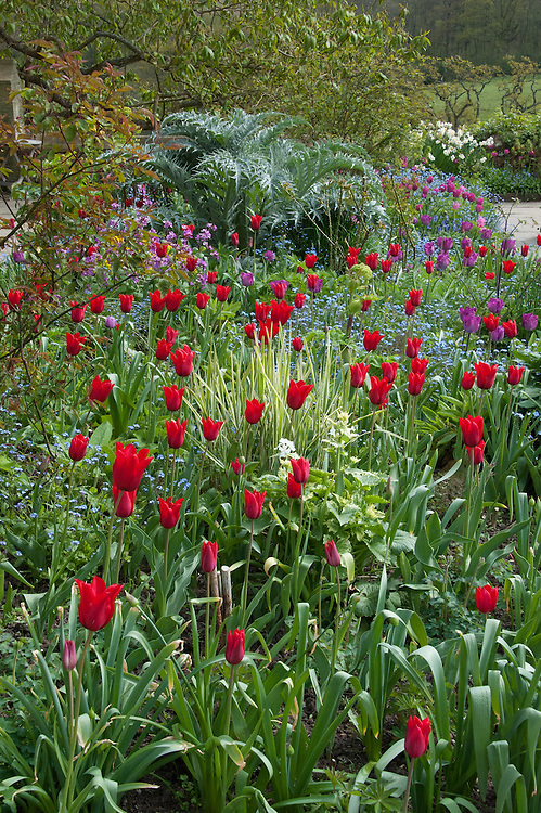 'Red Shine' tulips in a mixed spring border at Gravetye Manor, early May.