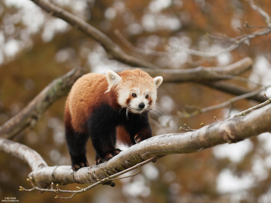 Captive Red Panda {Ailurus fulgens} at Cotswold Wildlife Park