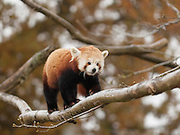 Captive Red Panda {Ailurus fulgens} at Cotswold Wildlife Park