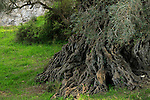 Israel, Shephelah, the ancient Olive tree in Bet Gemel