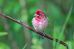 Male purple finch perched in northern Wisconsin.