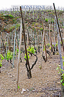 Terraced vineyards in the Cote Rotie district around Ampuis in northern Rhone planted with the Syrah grape. Syrah Vines in the foreground with supporting wooden poles and in the background a sign saying Bonserine, one of the producers now owned by Guigal.  Ampuis, Cote Rotie, Rhone, France, Europe