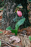 Pink Lady's Slipper, Cypripedium acaule with background of pine tree trunk and needles. Virginia