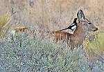 In a symbiotic relationship a mule deer doe provides a source of insects for a magpie and the deer is cleared of ticks.