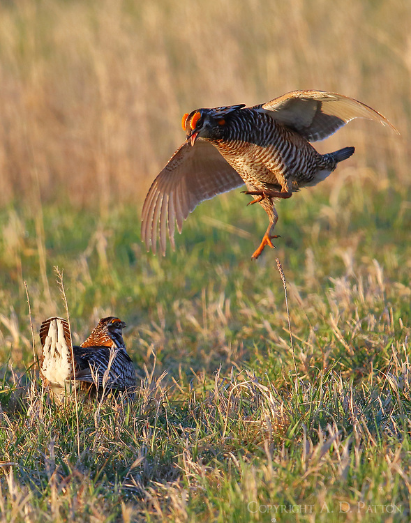 Two male greater prairie chickens challenging each other. Here one is doing the flutter hop. A lot of this was going on but it was hard to photograph!