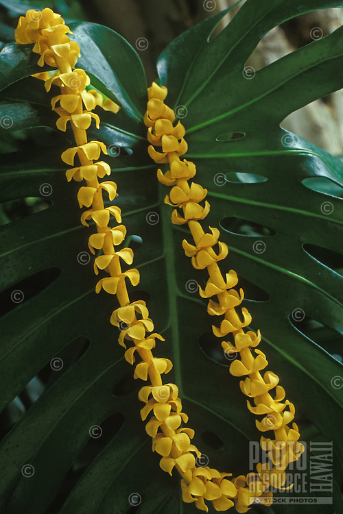 Puakenikeni lei, a beautiful and fragrant Hawaiian tradition