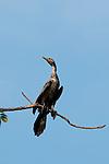 Neotropic Cormorant (Phalacrocorax o. olivaceus) perched on tree branch. Pacheca Island, Las Perlas Archipelago, Panama province,  Panama, Central America.