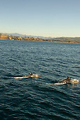 Stock photo of dolphins off Dana point California