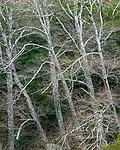 Red Alders, Redwood Creek, Mount Tamalpais State Park, Marin County, California