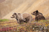 Two grizzly bear cubs in the autumn tundra in Highway pass, Denali National Park.