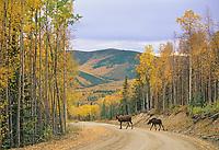 Cow moose and calf cross gravel road in Fairbanks, Alaska.
