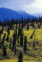 Black spruce trees lean due to underlying permafrost in the tundra, southcentral, Alaska