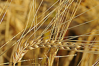 Wheat closeup <br /> <br /> Saskatchewan<br /> Canada