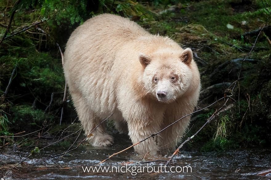 Adult Spirit Bear or Kermode Bear (Ursus americanus kermodei) - white morph of the black bear- by stream fishing for salmon. Gribbell Island, Great Bear Rainforest, British Columbia, Canada