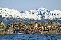 Steller's Sea lions hauled out on the Needle, Prince William Sound, Alaska