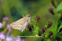 03729-00202 Sachem butterfly (Atalopedes campestris) on Crucita Mistflower (Eupatorium odoratum) Hidalgo Co.  TX