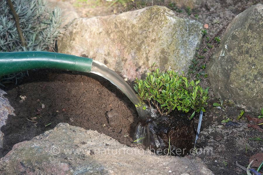 Einpflanzen eines Krautes, Pflanze, Gartenpflanze, Kräuter in Steinmauer, bepflanzen einer Kräuterspirale im Garten, Pflanze wird angegossen, Gartenarbeit