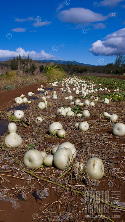 white gourds laying in a field ready for harvesting on Molokai
