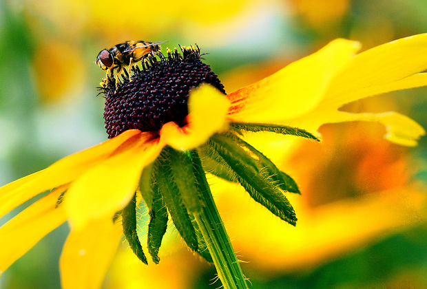 Pollen clings to a syrphid fly's legs as it collects nectar while pollinating a rudbeckia flower at The Gardeners of America/Men's Garden Clubs of America national headquarters garden in Johnston, Iowa.