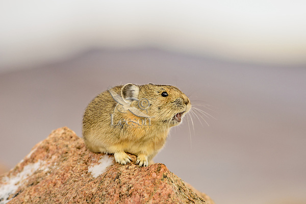 American pika (Ochotona princeps) calling.  Beartooth Mountains, Wyoming/Montana border.  Fall--with a little skiff of snow.  This photo was taken in alpine setting at around 11,000 feet (3350 meters) elevation.  Most Americans say PIE-ka, but the rest of the world says PEE-ka, and makes the case for PEE-ka because it is (obviously) onomatopoeic of the pika's call.  Pikas are vocal animals, and will use a sharp call or whistle to warn others of danger or to protect their territories from intrusion from other pikas.