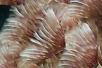 Feather duster colony<br /> US Virgin Islands