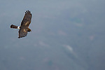 Northern Harrier (Circus cyaneus) female flying, Tennessee Valley, Mill Valley, Bay Area, California