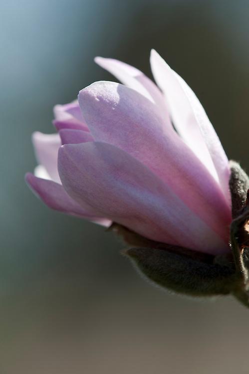 Magnolia x loebneri 'Merrill', late March.