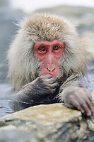 primate, young Japanese macaque, Snow monkey, Macaca Fuscata, Jigokudani means Hell's valley hot spring, Ngano, Japan