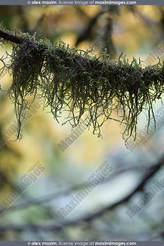 Artistic closeup of moss on a tree branch with fall nature leaves in the background. Vancouver Island, BC, Canada. Image © MaximImages, License at https://www.maximimages.com