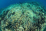 Massive area of cabbage corals