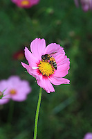 A geant bee on a aster flower.