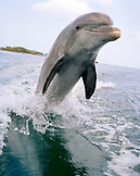 HONDURAS, Roatan, Bottlenose Dolphin jumping out of water
