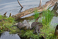 Northern River Otter (Lontra canadensis) family--mother with three pups--explore old fallen log along edge of lake.  Western U.S., summer..