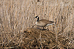 Canada Goose (Branta canadensis) on its nest on a muskrat house, Montezuma National Wildlife Refuge, New York, USA