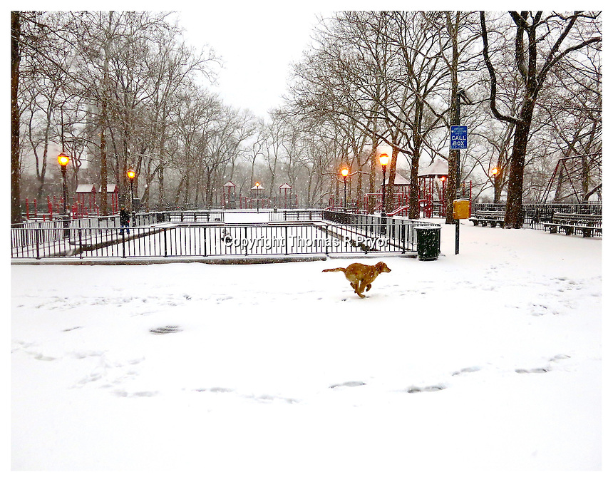 NEW YORK, NY - FEBRUARY 8: Golden dog in the snow at Carl Schurz Park's Hockey field in Yorkville, New York on February 8, 2013. Photo Credit: Thomas R Pryor