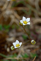 FAIRY FLAX Linum catharticum (Linaceae) Height to 12cm<br /> Slender, delicate annual that is easily overlooked when not in flower. Found in both wet and dry grassland, mainly on calcareous soils. FLOWERS are 4-6mm across and white; borne in loose, terminal clusters (May-Sep). FRUITS are globular. LEAVES are narrow, 1-veined and borne in opposite pairs. STATUS-Widespread and locally common.