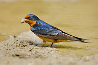 Barn Swallow (Hirundo rustica) gathering mud and sticks for nest building. Carolinian Forest, Point Pelee National Park. Spring. Lake Erie, Ontario. Canada.