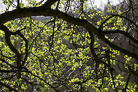 Eingriffliger Weißdorn, Blatt, Blätter, Blattaustrieb im Frühjahr, Weissdorn, Weiß-Dorn, Weiss-Dorn, Crataegus monogyna, English Hawthorn, May, Aubépine monogyne