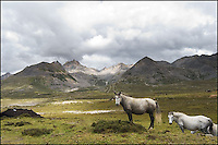 2 Tibetan horses on high mountain.