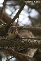 1221-0905  Gray Squirrel Climbing in Tree, Sciurus carolinensis  © David Kuhn/Dwight Kuhn Photography